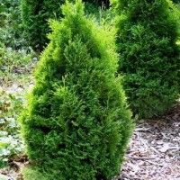 Holmstrup Arborvitae: mature height 4-5'; mature spread 1-2'; Full sun; tolerates poor drainage and does well in light shade; very versatile dwarf evergreen tree
