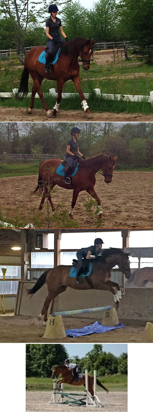 16.1hh 7yo Registered Thoroughbred Mare Stella is a 7 yr old 16.1 hh thoroughbred who has never raced and has a kind temperament.  She has b