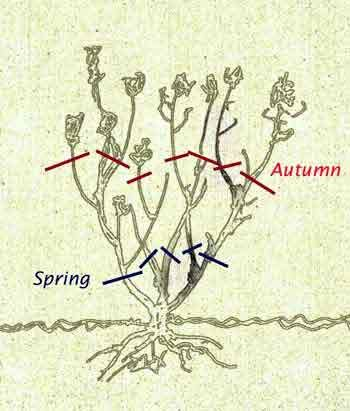 Rose Pruning Diagram