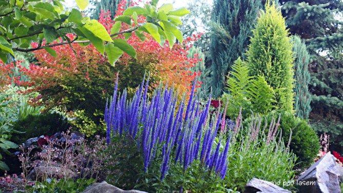 Przetacznik Klosowy Miododajne Klosy Ogrod Pod Lasem Plants Garden