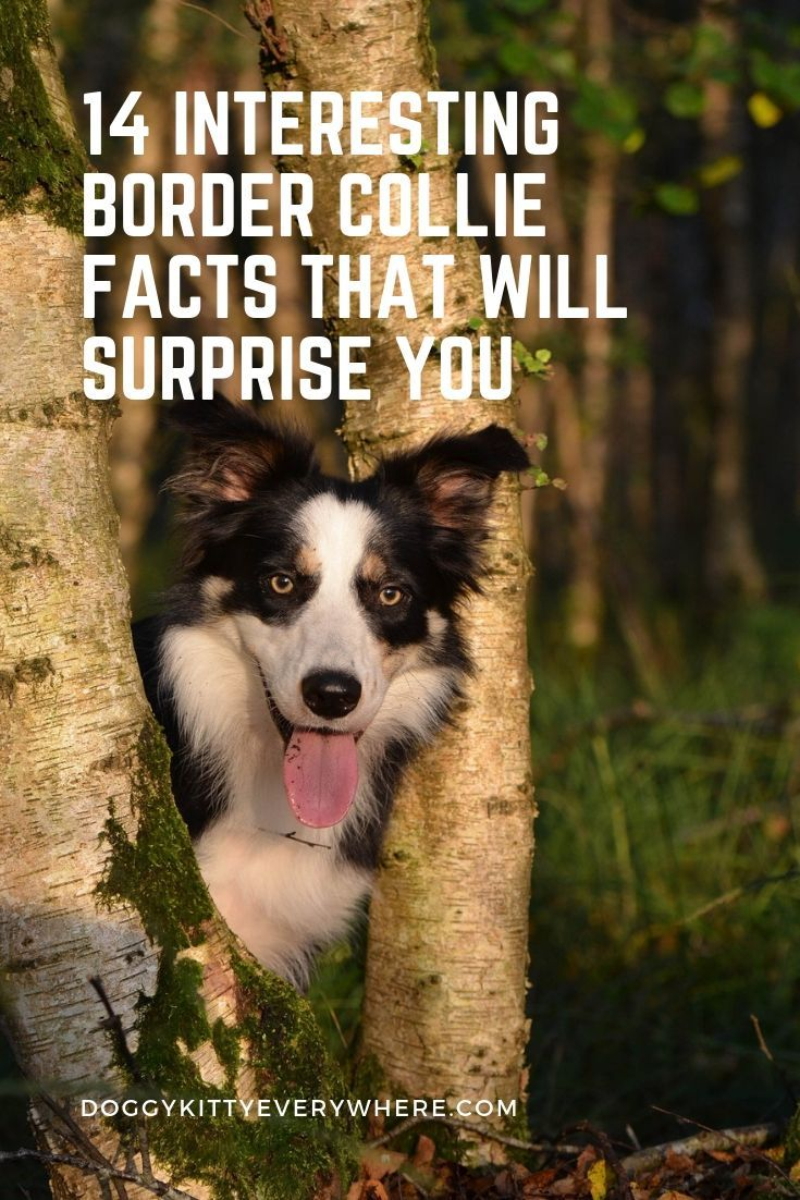 Most Up To Date Images Border Collies Facts Tips This Perimeter