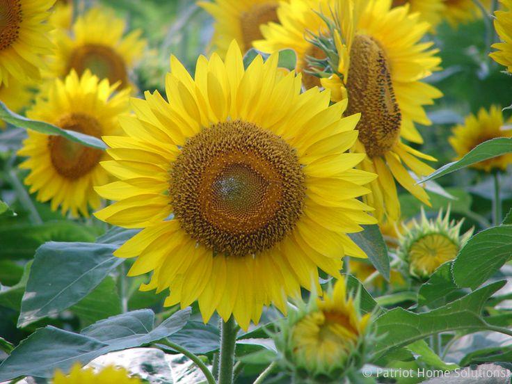 Buttonwood Farm Sunflower Festival Dates Griswold Connecticut