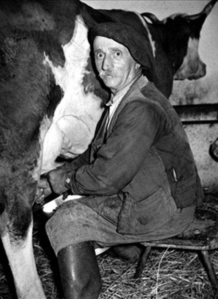 Roger-Viollet - Image d'Épinal de la vie rurale, la traite des vaches suit un strict rythme quotidien, France, vers 1930.