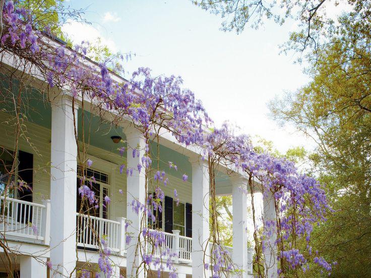 wisteria pruning