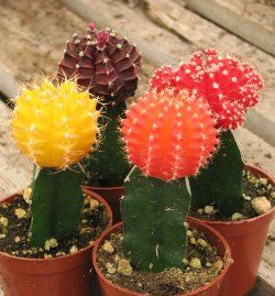 colored cactus walmart - Google Search