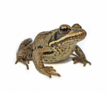 Real Frog