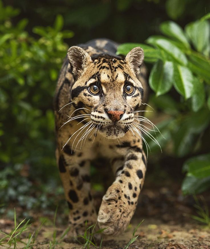 wildlifeplanet x Clouded Leopard | Photo by ©Colin Langford