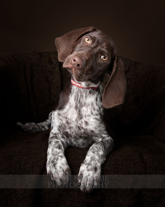 Menagerie Photography | A Dog a Day. 30 – Indie #puppy #germanshorthairedpointer