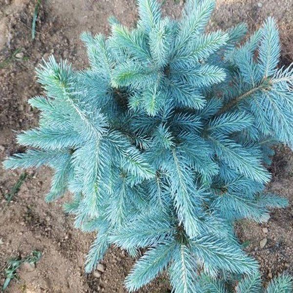 25 best Blue spruce tree ideas on Pinterest Blue spruce