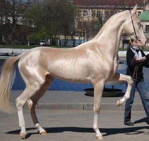 世界に3500頭しかいない!?圧倒的美しさ『黄金の馬 アハルテケ』ってなに? - NAVER まとめ