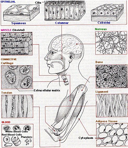 112 best Histologa images on Pinterest | Human body ...