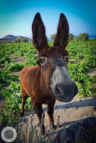 Donkey, Santorini. © Santorini Photo Tours / Olaf Reinen
