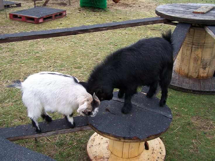 Assemble a playground jungle gym for your pet goats! Pick up wood spools from your local PUD (planned unit development), gather thick wood beams and attach the beams to the spools. Cut pieces of roofi