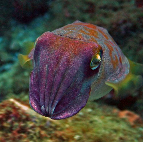 I WISH I could do what a cuttlefish does & change the colors of my skin like 160 times per second. So amazing! So jealous!
