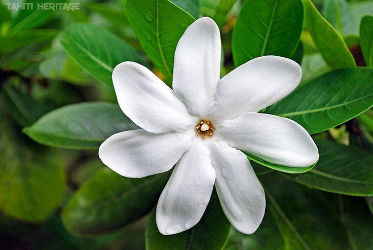 Tiare Tahiti, la fleur symbole de Tahiti