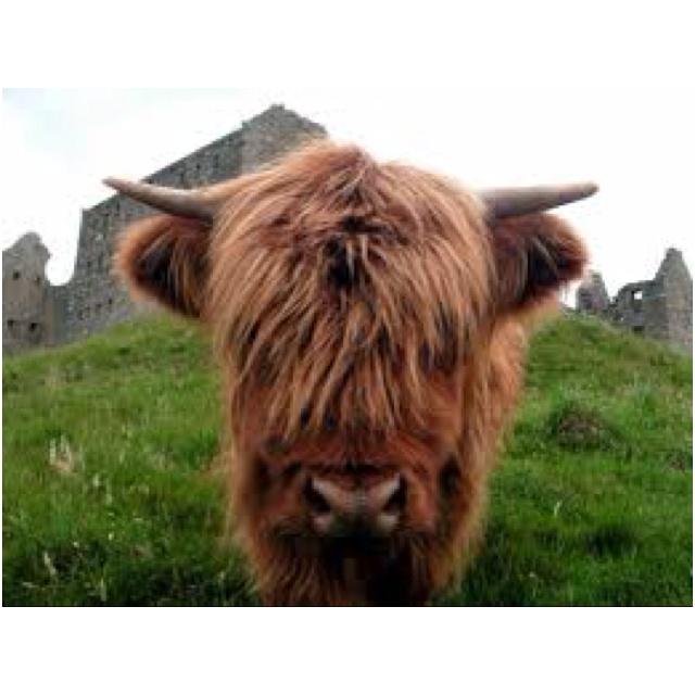 Highland Cooooo!: Highlanders Cooooo, Smile