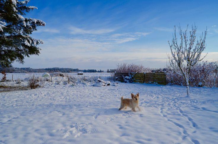 My Golden in snow ❄️❄️