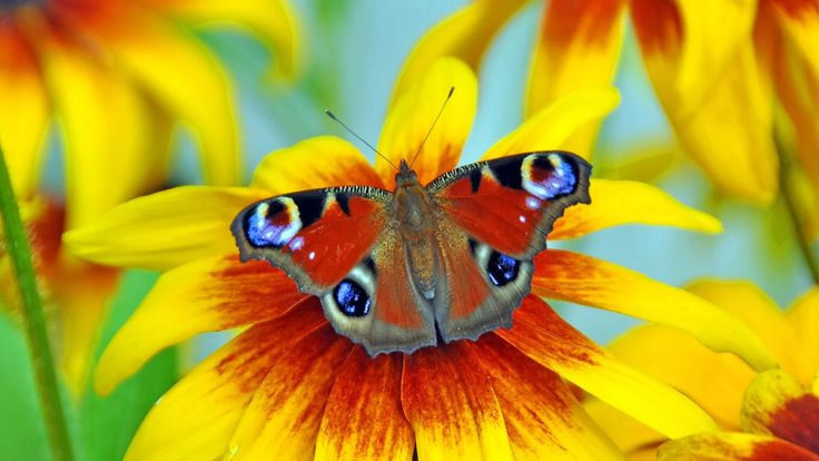 Фото: The butterfly of Peacock eye #butterfly #macro #insects Full format photo…