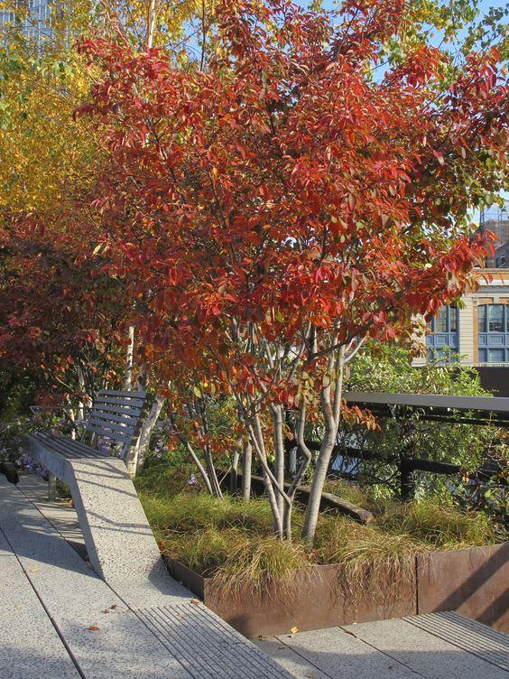 Fabulous multi stemmed trees - Amelanchier, amazing autumn colour.: