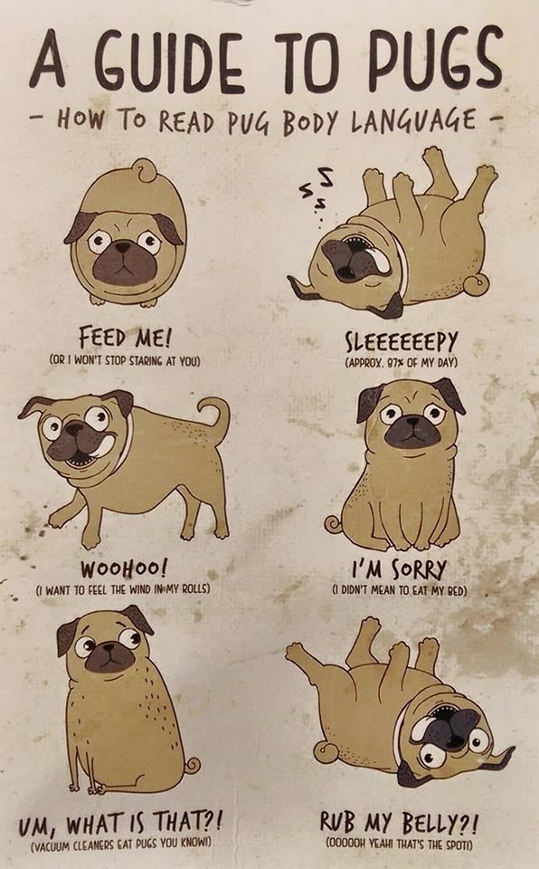 A guide to pugs <--- To be accurate, pretty sure there should be a subheading of feed me under ALL of these, except maybe sleepy... Although even that probably wouldn't stop my pug from being hungry!