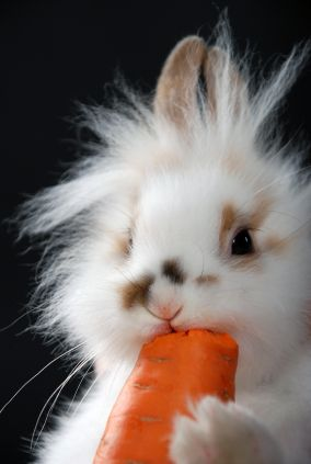 Cutie little bunny eating a carrot :) (The carrot might be photoshopped into the photo - it looks rather big for the bunny)