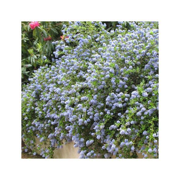 les 25 meilleures id es concernant arbuste fleurs bleues sur pinterest p pini re bleu vert. Black Bedroom Furniture Sets. Home Design Ideas