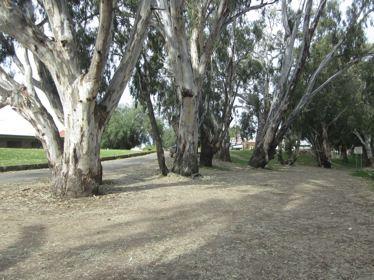River red gums, Echuca. This makes my heart hurt.