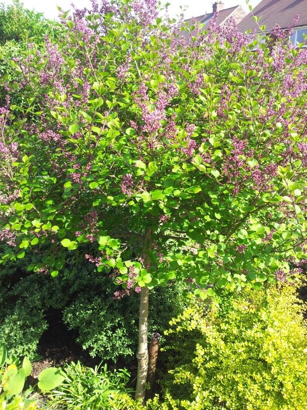 Standard lilac tree