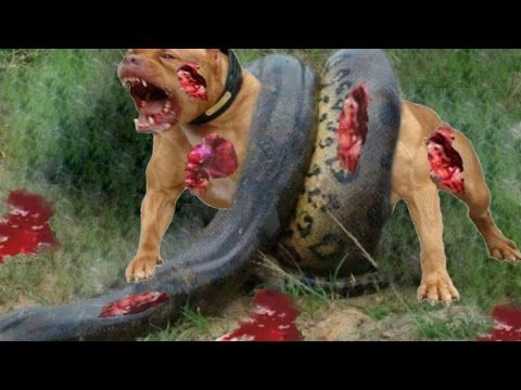 Best Animal Attack Compilation : Most Animal Attacks। Anaconda Swallow All Animals।...