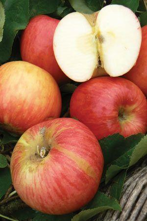 Dwarf Apple Wild Granny'- WAPWO photo