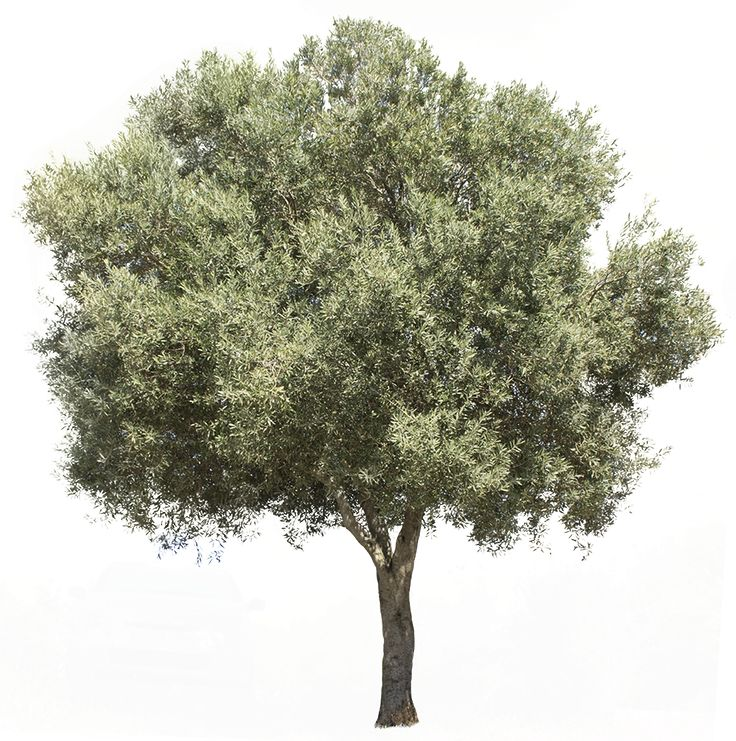 3709 x 3738 pixels PNG image, with transparent background. Olea europaea Olive tree; Olivier; Olivo, Oliveira Found in the Mediterranean Basin, from Portugal to the Arabian Peninsula and southern Asia as far east as China. Cultivated in all the countries of the Mediterranean coast, as well as in Argentina, Saudi Arabia and California. The olive's fruit, olive, is of major agricultural importance in the Mediterranean region.