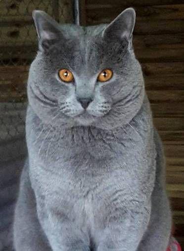 Elevage des chevaliers bleus - eleveur de chats Chartreux