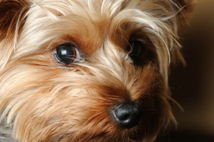 Yorkshire Dogs   How To Choose Your Dog