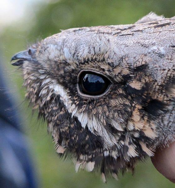 Image result for nightjar bird