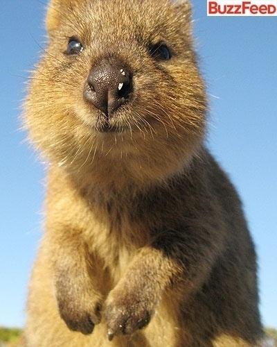 Esse aí é um quokka (Setonix brachyurus), um marsupial que vive na Austrália. O bichinho é praticamente um primo do canguru. Para o site BuzzFeed, que preparou uma galeria de fotos para apresentar o quokka ao mundo, esse é o animal mais feliz do mundo. Ele vive sorrindo. Até quando dorme tem um sorriso maroto no canto da boca. Fofo, não?