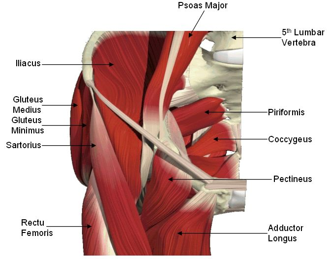 The hip anatomy