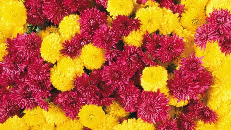 Marigold and Chrysanthemum  #beauty #backgrounds #flowers #picture