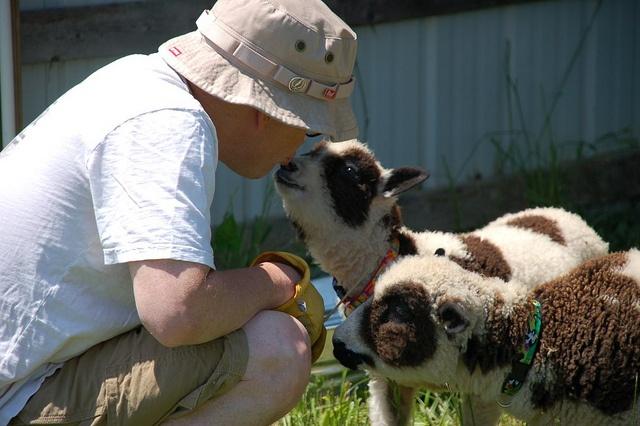 Lamb kisses