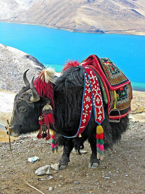 Tibetan Yak all dressed up. Ridden in Nighstealer to the Mustang Caves near Nepal. stealersaga.com