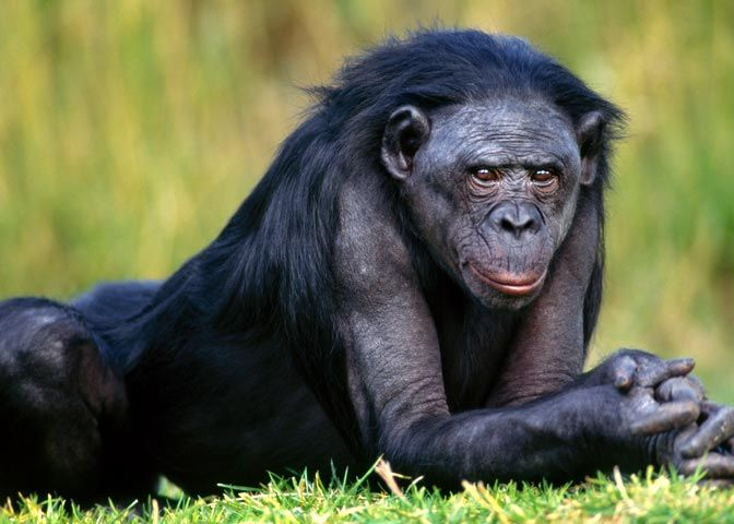 Bonobos, the only primates that collectively managed to get rid of social violence by replacing aggression with sex. Sex at any time, with anyone, any gender and all ages