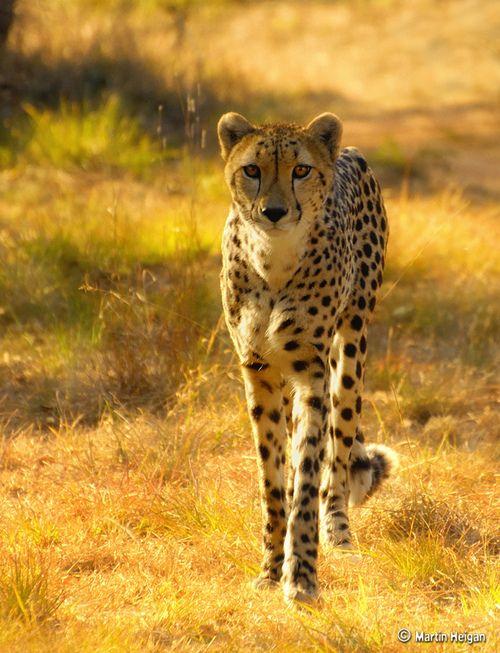 Big Cat, Cheetahs, Bigcats Wildcats, Catwalks, Cat Walks, Animal Kingdom, Martin Heigan,  Chetah, Beautiful Creatures