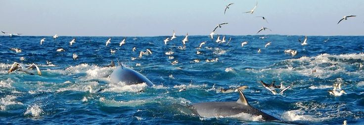 SARDINE RUN! Bryde's Whales, Common Dolphins and Cape Gannets compete for the shoals of Sardines in Algoa bay, Port Elizabeth