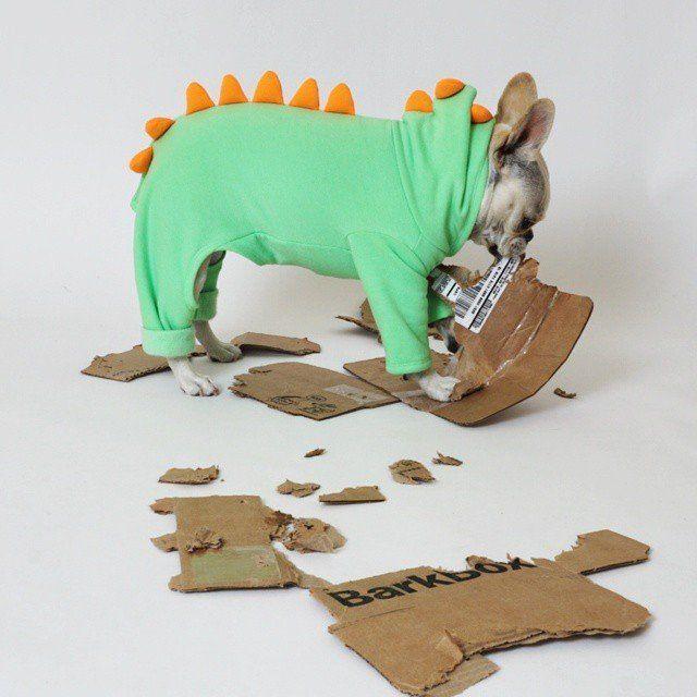 Costumepalooza - little Lily the Frenchton in Dinosaur costume (French Bulldog & Boston Terrier mix).