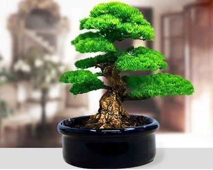 Bonsai; Bir ağaç türü değil, derin olmayan saksılarda belli tekniklerle budayarak, belli şekillere sokarak ağaçların minyatür kalmalarını sağlama sanatına verilen isimdir.  Böyle güzel bir hobiye sahip olmak isteyenleri bekleriz.