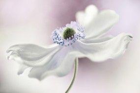 цветы, анемоны,  сон-трава, белый, анемона, цветок