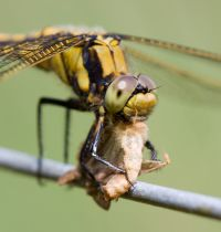 Are you wondering what do dragonflies eat? Find out all about it in this article.