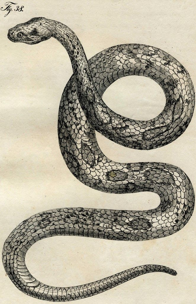 Early Vintage Snake Images - Cool! - The Graphics Fairy