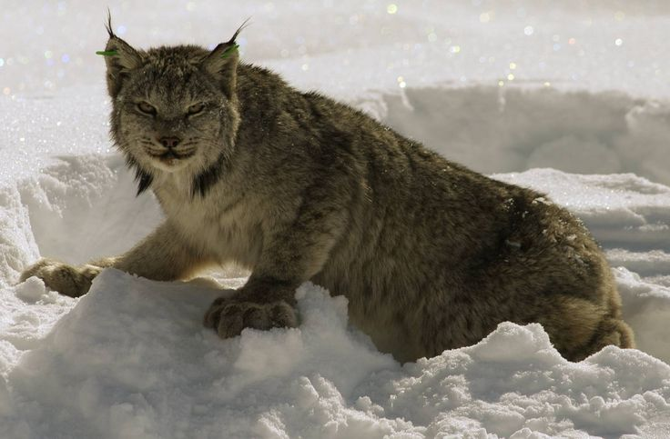 """Lynx need habitat to survive,"""" said Earthjustice attorney Tim Preso, in the release. Description from bangordailynews.com. I searched for this on bing.com/images"""