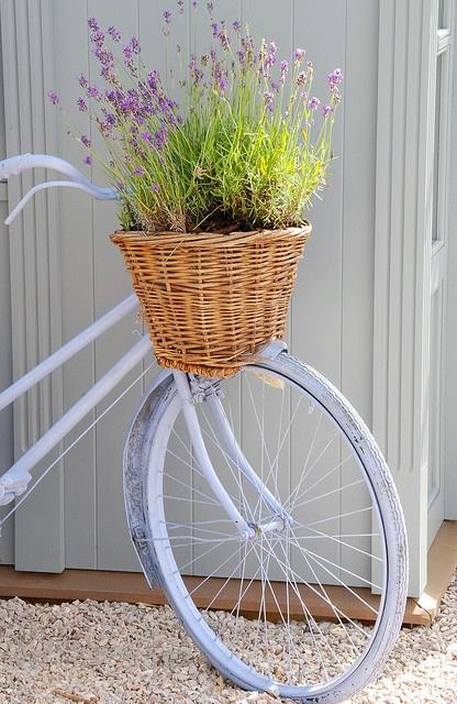 Lavanda en un cesto en una bici antigua.