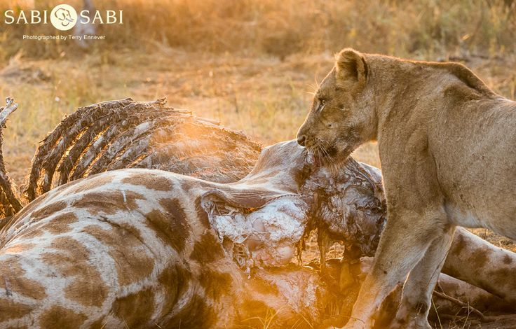 After feeding on the giraffe carcass for the night, the Charleston's had to defend their meal against a clan of 14 hyenas.
